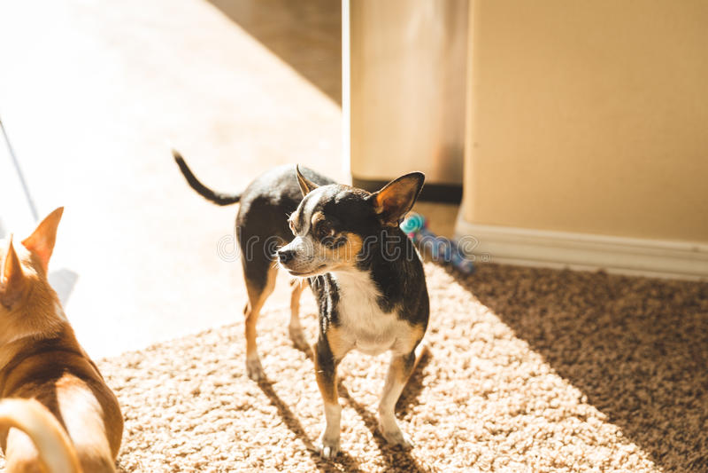奇瓦瓦狗成人身分在阳光下在客厅 免版税库存照片