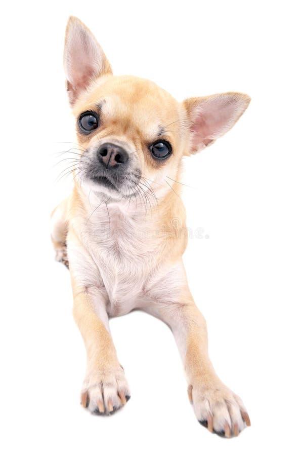 奇瓦瓦狗接近的狗下来查出位于的好  库存照片