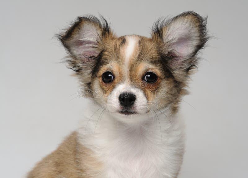 奇瓦瓦狗接近的逗人喜爱的纵向小狗 免版税库存图片