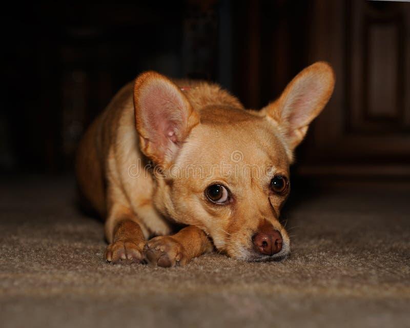 奇瓦瓦狗混合 库存图片