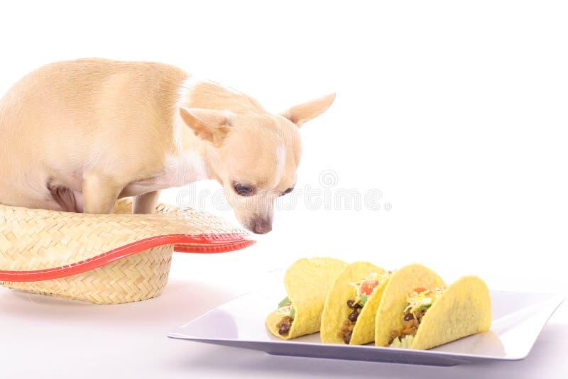 奇瓦瓦狗炸玉米饼 库存图片