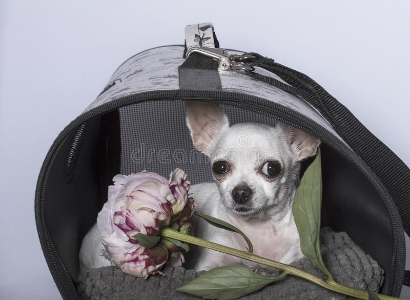 奇瓦瓦狗狗品种在摊和与牡丹 图库摄影