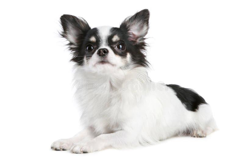 奇瓦瓦狗狗头发长 图库摄影
