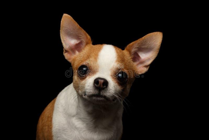 奇瓦瓦狗狗特写镜头画象在黑色的 库存照片