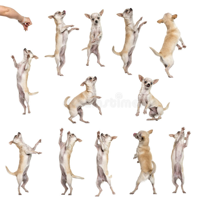 12奇瓦瓦狗的汇集, differents位置 免版税库存图片