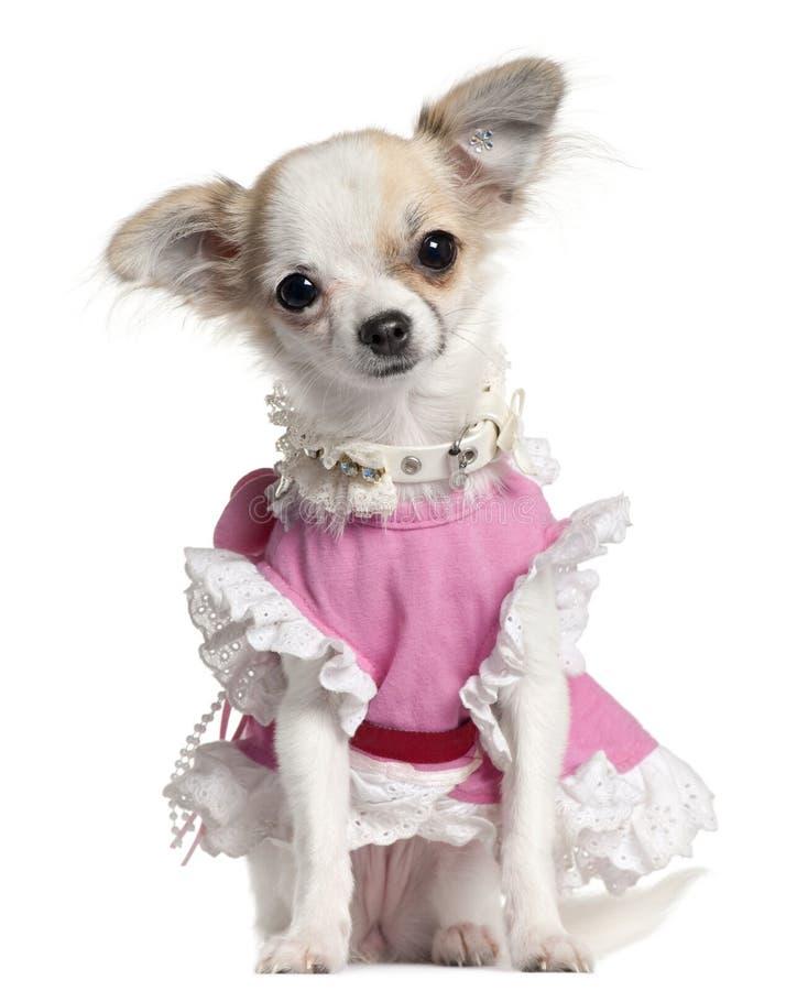 奇瓦瓦狗礼服粉红色小狗 库存照片