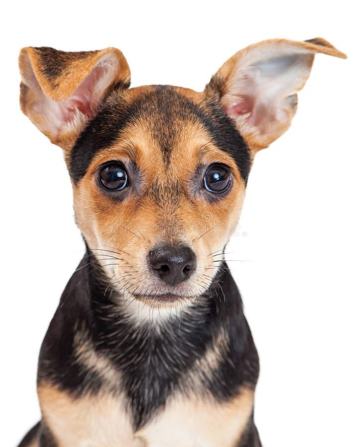 奇瓦瓦狗被混合的品种三个月的小狗特写镜头  图库摄影