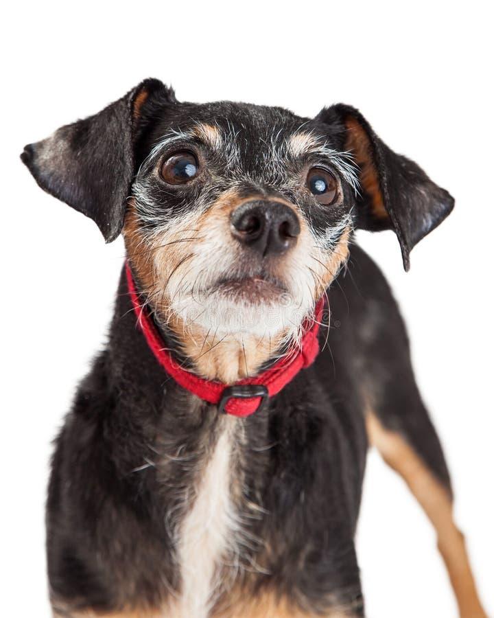 奇瓦瓦狗达克斯猎犬杂种特写镜头 免版税库存图片
