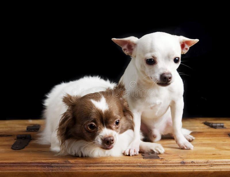 奇瓦瓦狗逗人喜爱的对 免版税库存图片