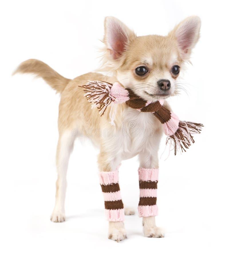 奇瓦瓦狗逗人喜爱的小狗围巾袜子镶&# 库存照片