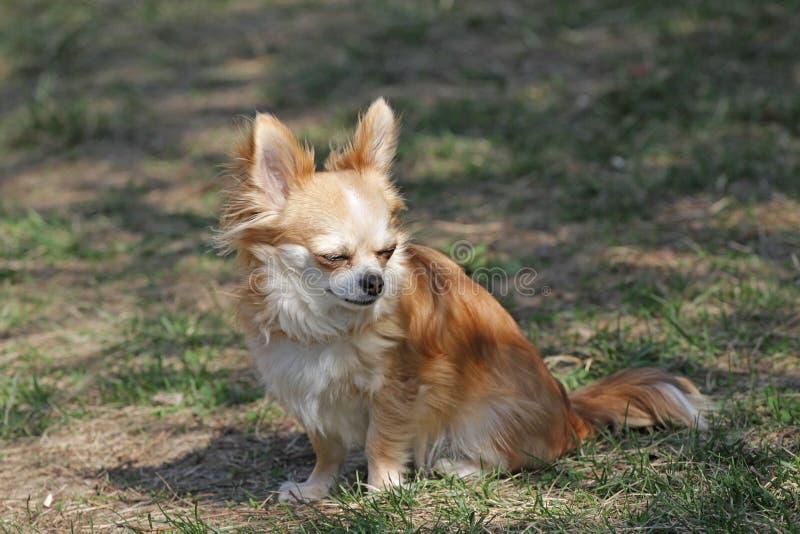奇瓦瓦狗长期狗毛 图库摄影