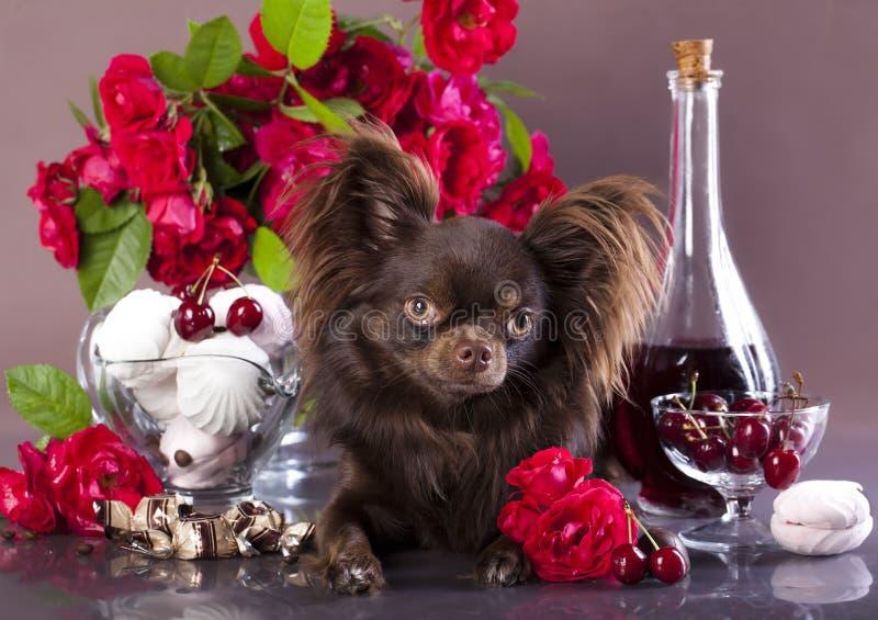 奇瓦瓦狗,巧克力颜色 免版税库存照片