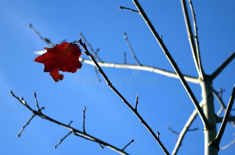 奋斗反对接近的冬天的橡木叶子 库存图片