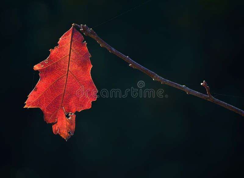 奋斗反对接近的冬天的橡木叶子 免版税库存照片