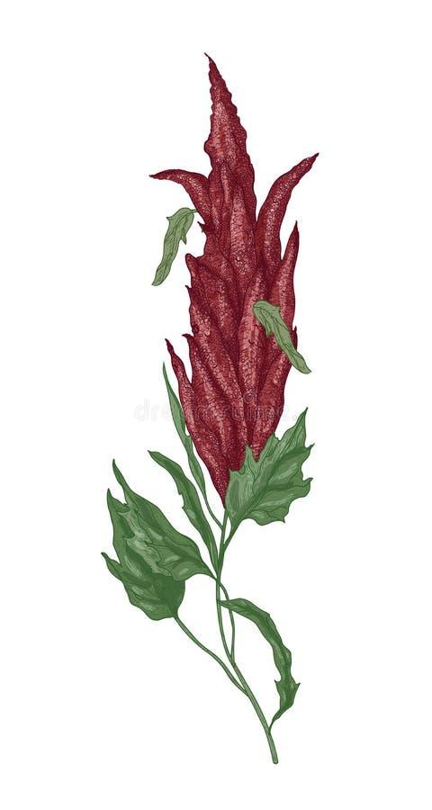 奎奴亚藜或白苋开花植物或者开花详细的植物的图画  被隔绝的耕种的粮食作物  向量例证