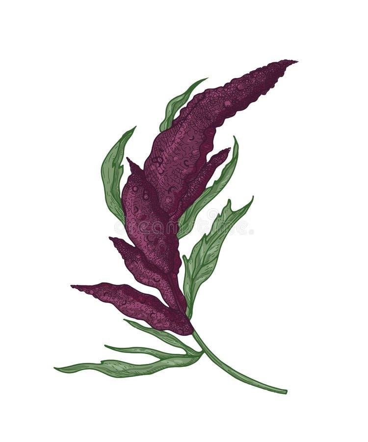 奎奴亚藜或白苋植物现实植物的图画有开花的植物或开花的 耕种的粮食作物 库存例证