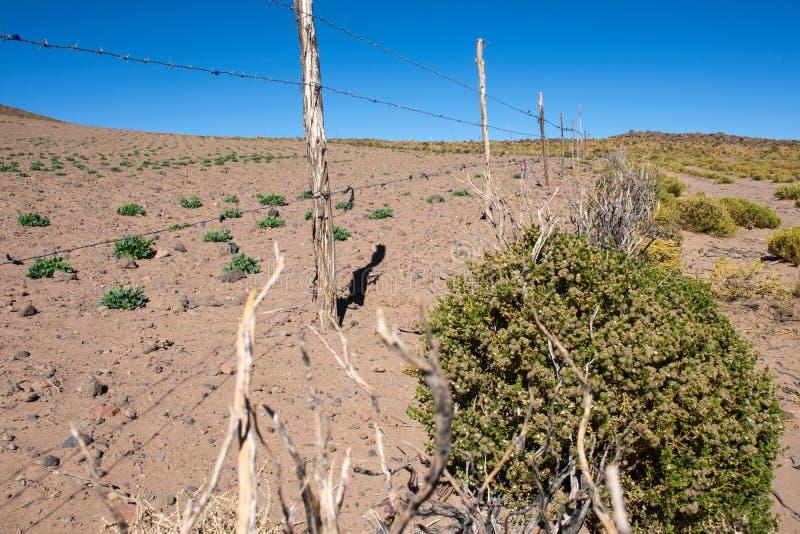 奎奴亚藜耕种,奎奴亚藜, 图库摄影