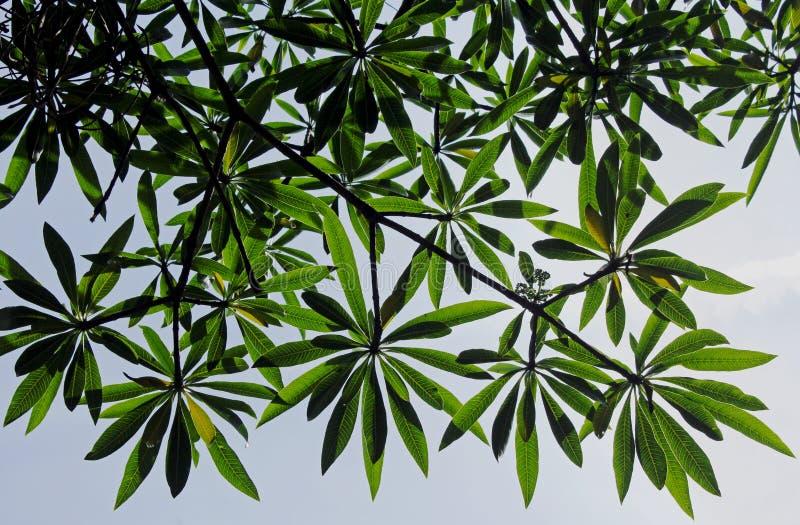 奎宁树叶子,Rauvolfia caffra 免版税库存照片