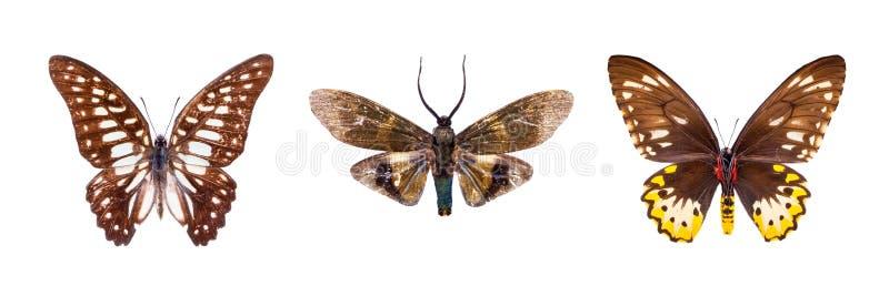 套三棕色,美丽的蝴蝶 免版税库存图片
