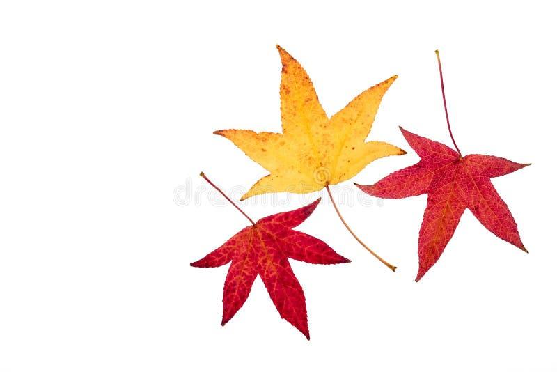 套三鸡爪枫树在秋天颜色离开 图库摄影