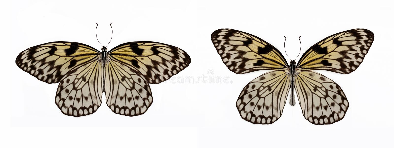 套两只美好的蝴蝶想法leuconoe 免版税库存照片