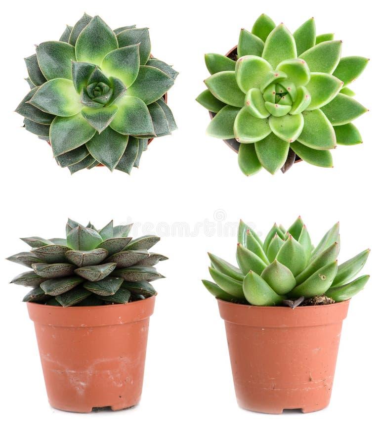 套在白色b隔绝的盆栽植物Echeveria不同的类型 图库摄影
