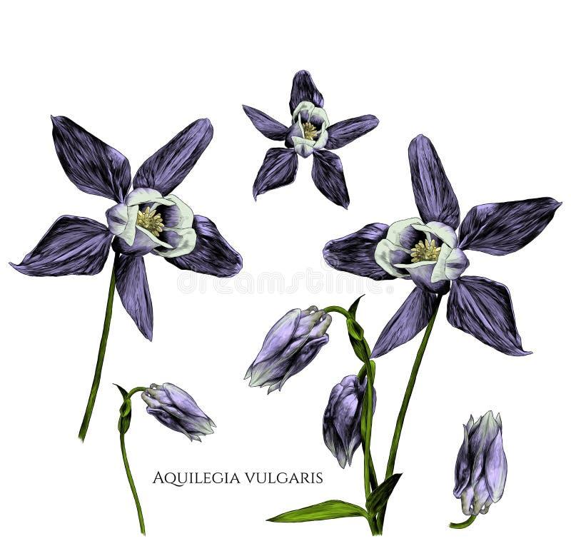 套开花aquilegia寻常的花与开花的芽和不  向量例证