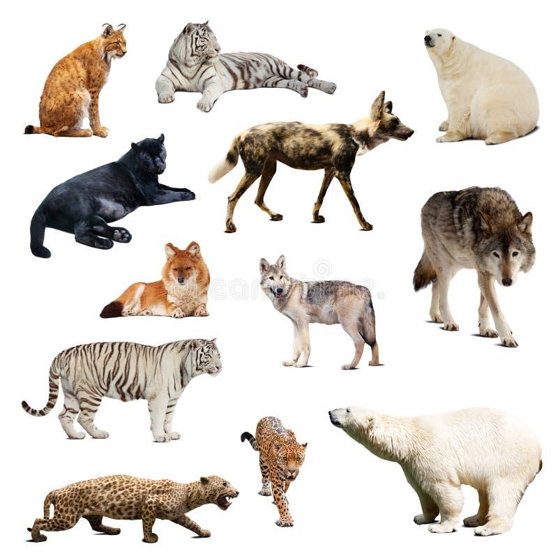 套掠食性哺乳动物。隔绝在白色 免版税图库摄影