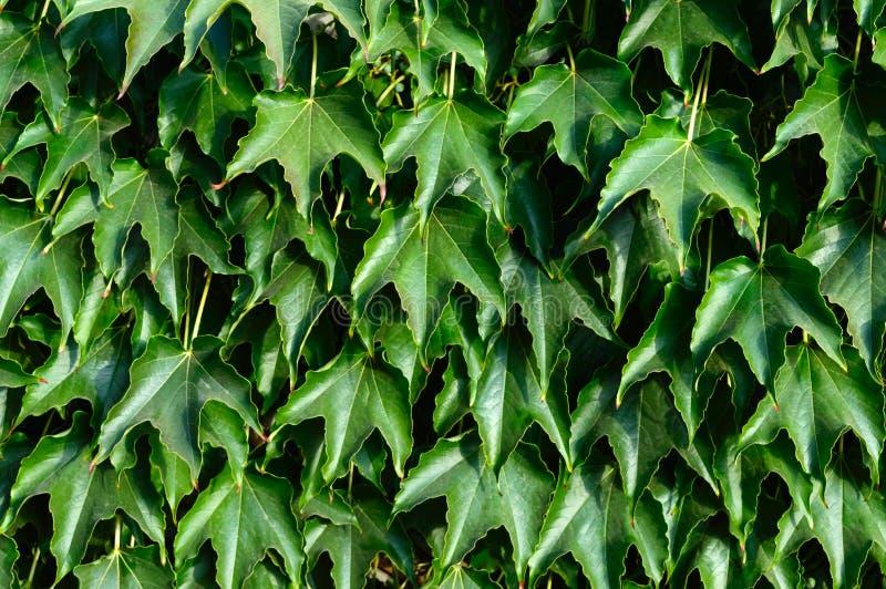套期交易 `波士顿常春藤`,在具体篱芭的狂放的葡萄 库存照片