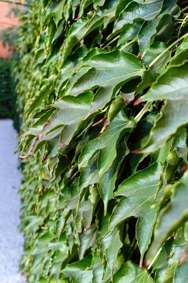 套期交易 `波士顿常春藤`,在具体篱芭的`狂放的葡萄` 图库摄影