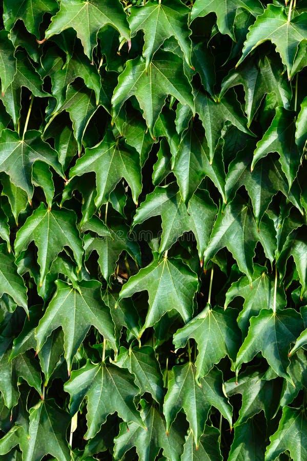 套期交易 `波士顿常春藤`,在具体篱芭的`狂放的葡萄` 库存图片