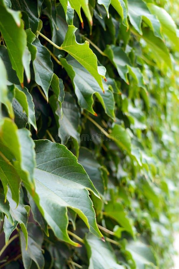 套期交易 `波士顿常春藤`,在具体篱芭的`狂放的葡萄` 免版税库存图片