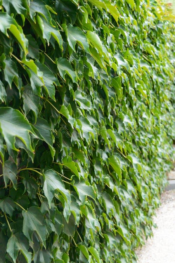 套期交易 `波士顿常春藤`,在具体篱芭的`狂放的葡萄` 免版税图库摄影