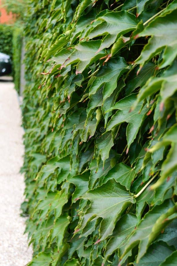 套期交易 `波士顿常春藤`,在具体篱芭的`狂放的葡萄` 库存照片