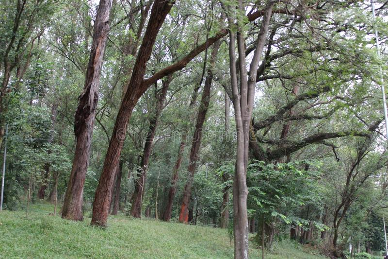 套树在Aclimação公园São保罗巴西 免版税库存图片