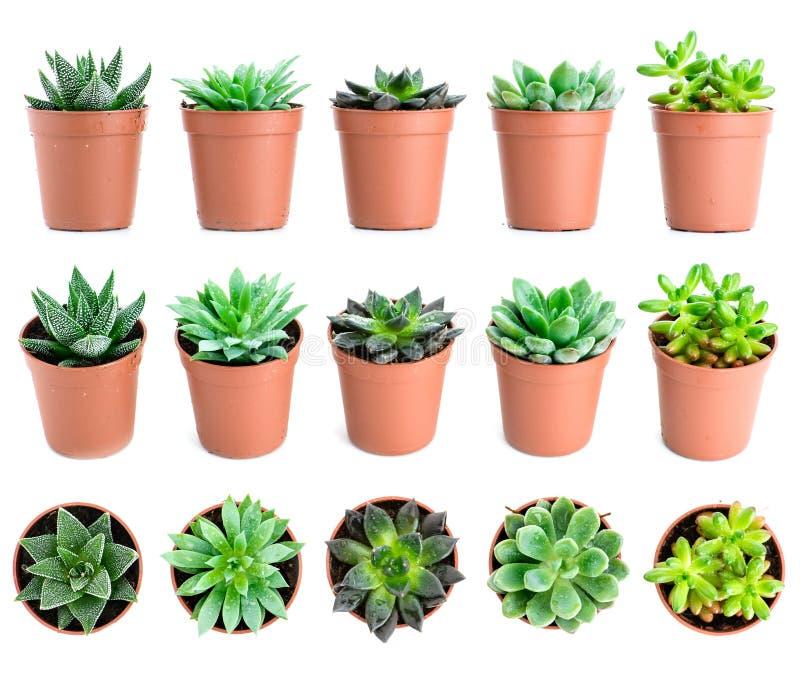 套盆栽植物Echeveria和在另外typ的其他多汁植物 免版税库存照片