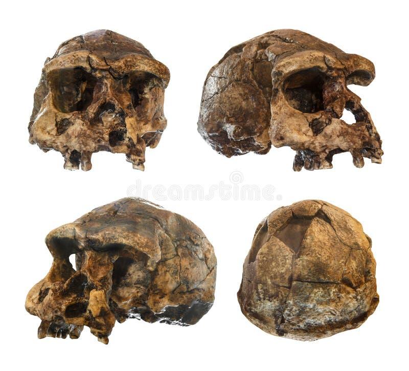 套直立头骨 在1969年发现在Sangiran, Java,印度尼西亚 约会对1百万年前 前面 端 Ob 库存图片