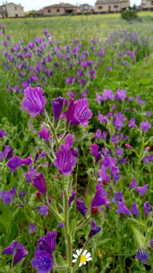 套紫色花,在春天 在雏菊和绿色草本的领域 免版税库存照片