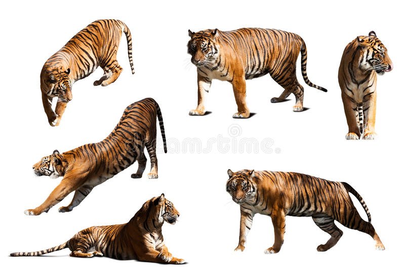 Download 套老虎 查出在空白背景 库存照片. 图片 包括有 本质, 哺乳动物, 位于, 老虎, 掠食性, 原野, 自然 - 59101862