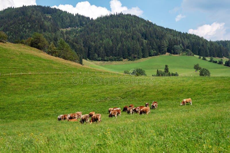 奥地利 在一个绿色高山牧场地在一个夏日,天空蔚蓝,山风景的母牛 库存照片