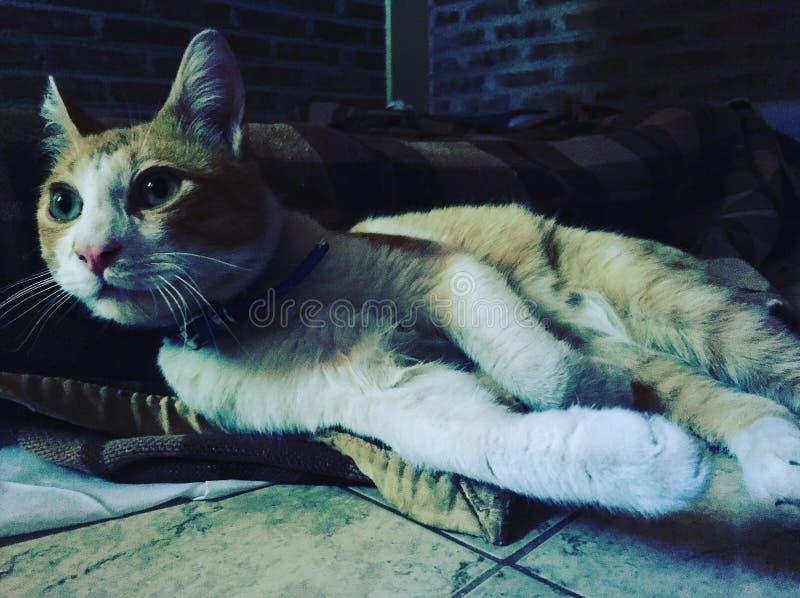 奥秘猫 免版税图库摄影