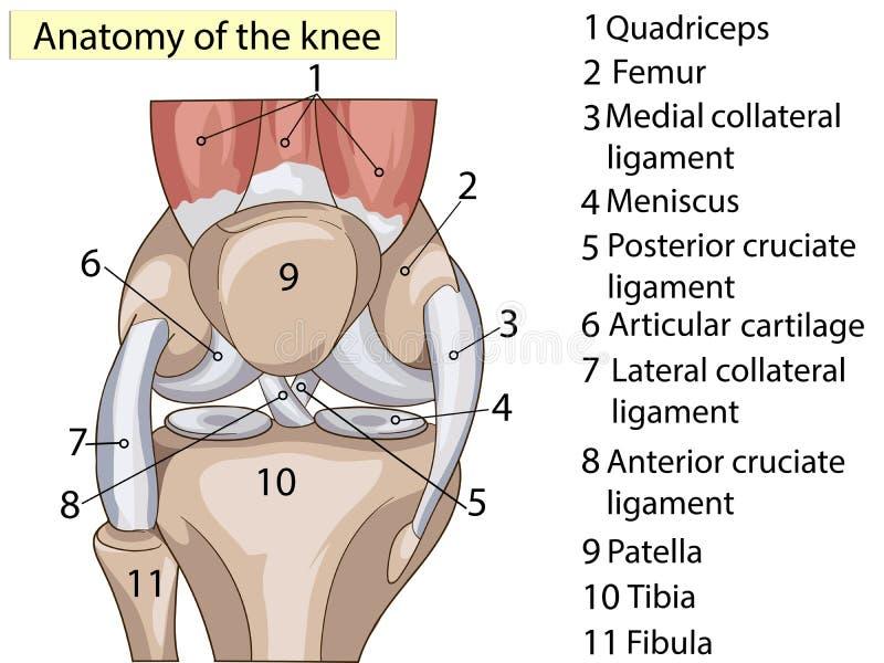 女主持人 预订 结构膝盖关节光栅基本的医疗教育 库存例证