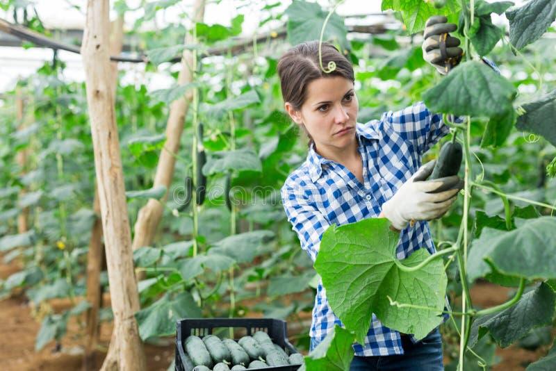 女农把黄瓜放在盒子里卖 免版税图库摄影
