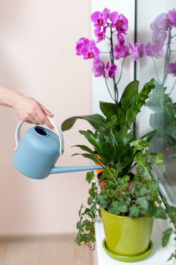 女孩卖花人浇灌了从喷壶的房子植物 在窗台是一个罐兰花、zamioculcas和dieffenbac 库存图片
