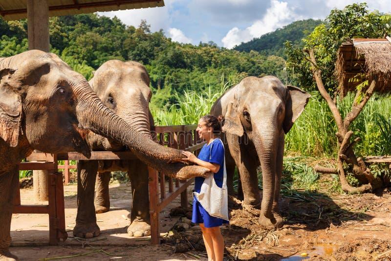 女孩在圣所的爱抚三大象在清迈泰国 免版税库存照片