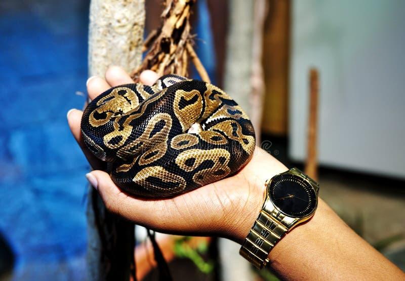 女孩在她的手上的拿着皇家球Python蛇 免版税库存照片