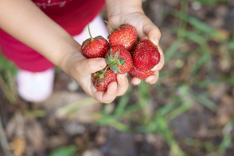 女孩在手、顶视图和被弄脏的背景上的拿着未加工的草莓 库存图片