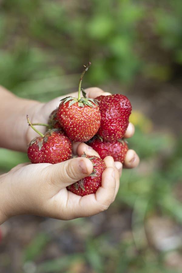 女孩在手、顶视图和被弄脏的背景上的拿着未加工的草莓 免版税库存照片