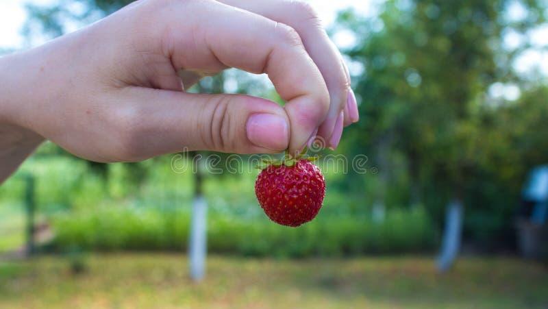 女孩在手中拿着草莓以庭院为背景 免版税库存照片