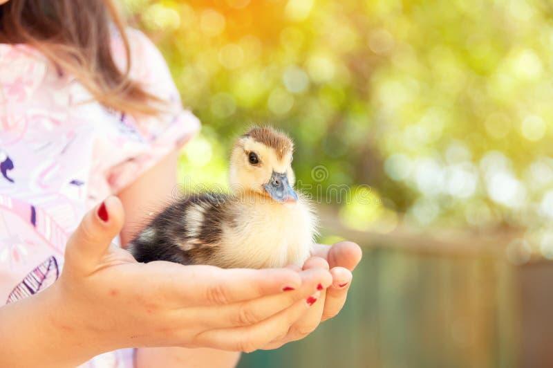 女孩用鸭子在手上 复活节和春天假日 免版税图库摄影